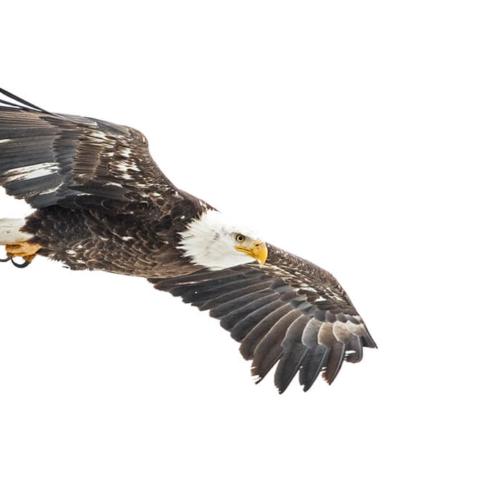 Adult Bald Eagle Soaring
