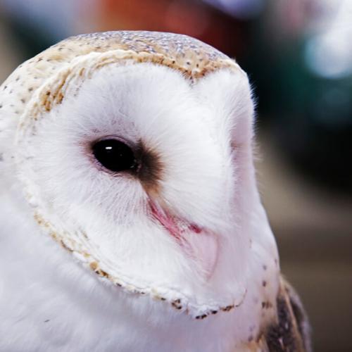 Barn Owl Close Up Wild Birds
