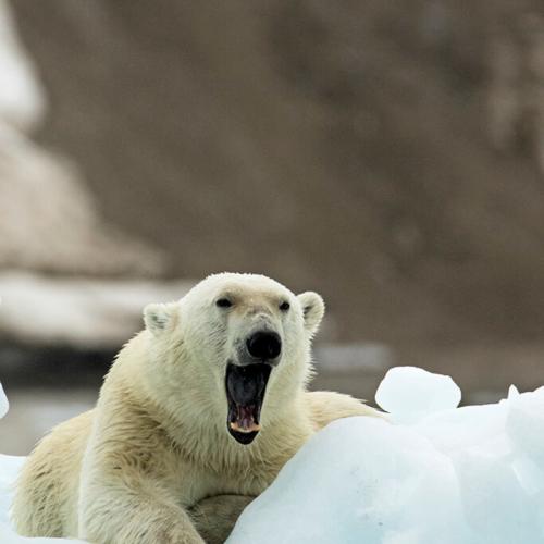 Bear on Iceberg yawning