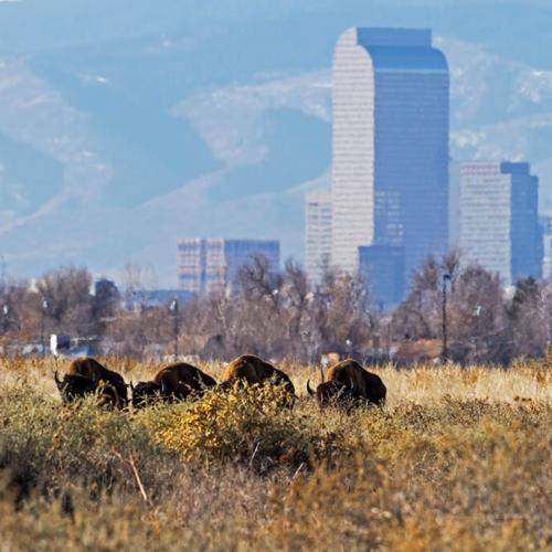 Bison and Denver Skyline