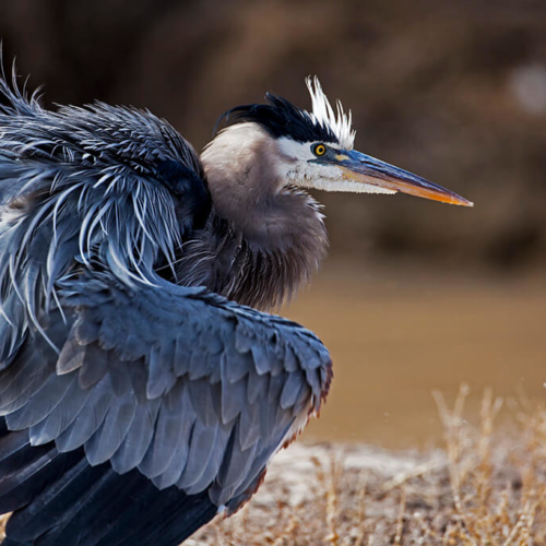 Blue Heron with ruffled feathers Bosque