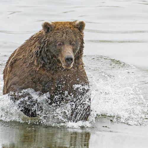 Brooks Bear Fishing for Salmon