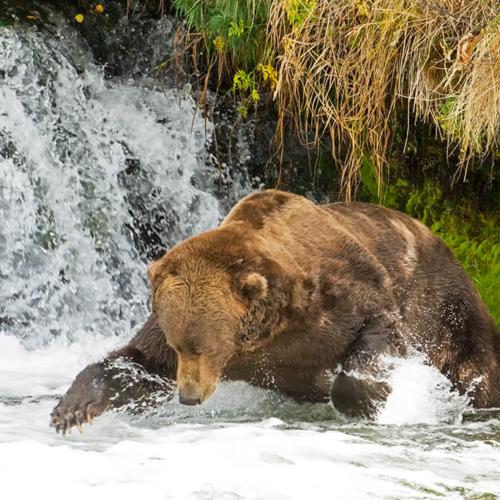 Brown Bear Fishing in a Pool