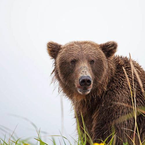 Brown Bear on Ridge near Homer Alaska