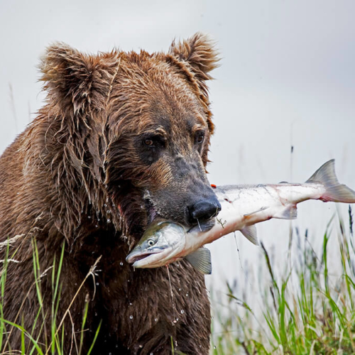Brown Bear with Fresh Salmon