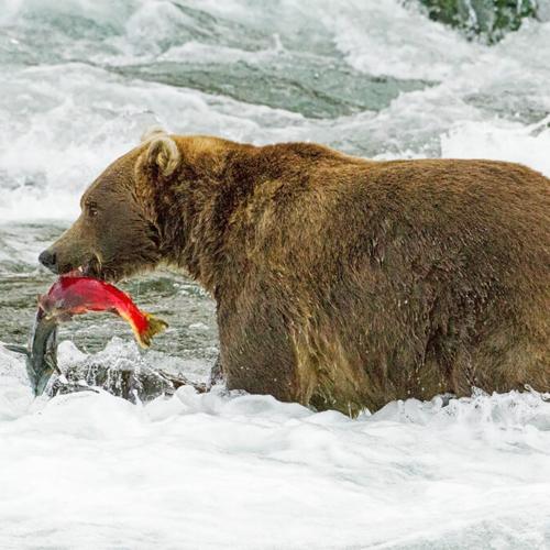 Brown Bear with Salmon