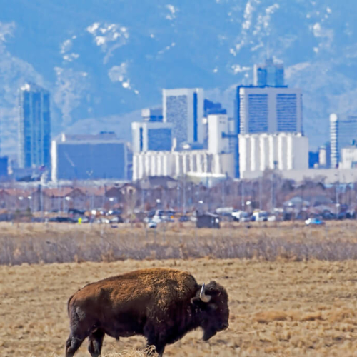 Bull Bison with Denver RM Arsenal
