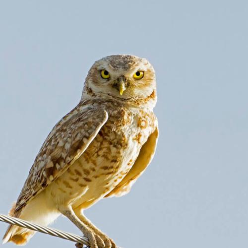 Burrowing Owl Head on