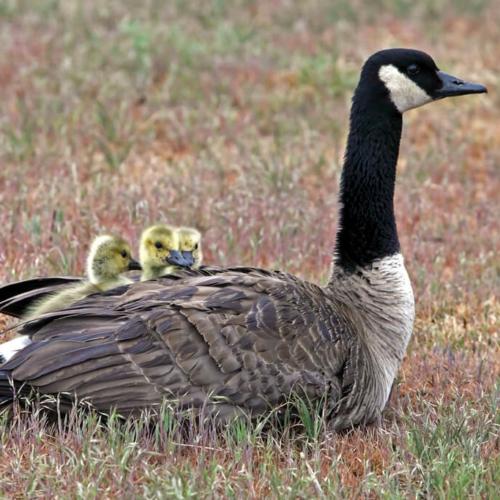 Canada Goslings snuggled in Foothills Campus