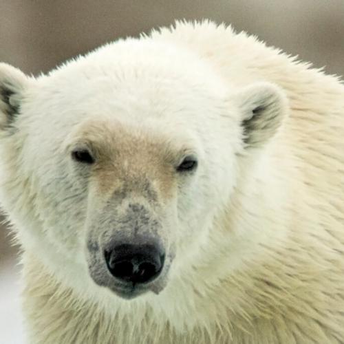 Close up of Polar Bear