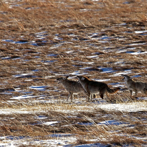 Coyotes howling RMNP 72p
