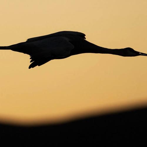 Crane Silhouette Bosce