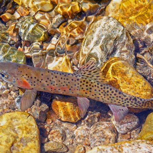Cutthroat trout RMNP