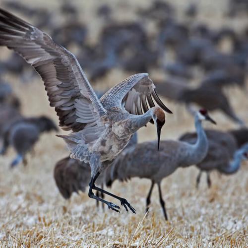 Dancing Crane Monte Vista