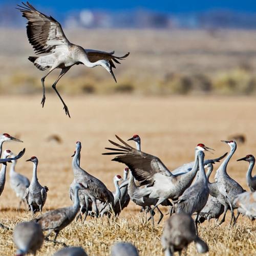 Dancing Crane_Monte Vista 72p