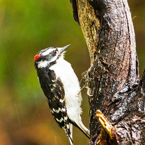 Downey Woodpecker on Post