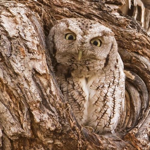 Eastern Screech Owl Peering from Hole