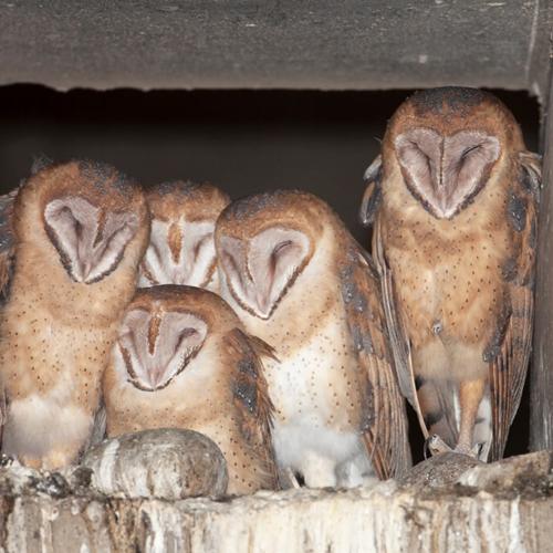 Five Barn Owls