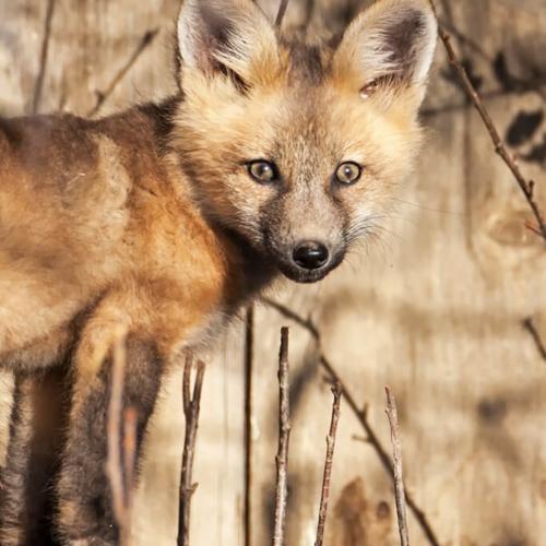 Fox Kit Closeup