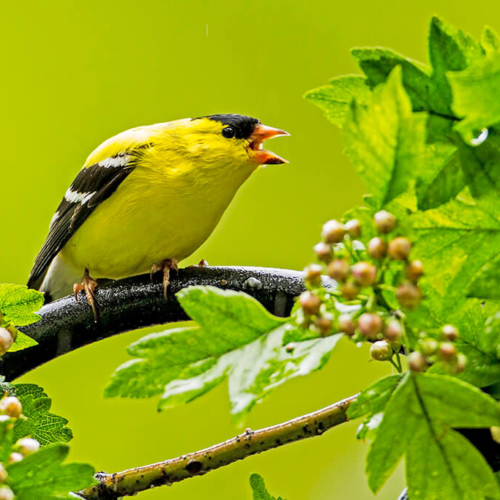 Goldfinch Calling