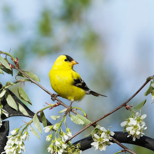 Goldfinch and Serviceberry Blossoms