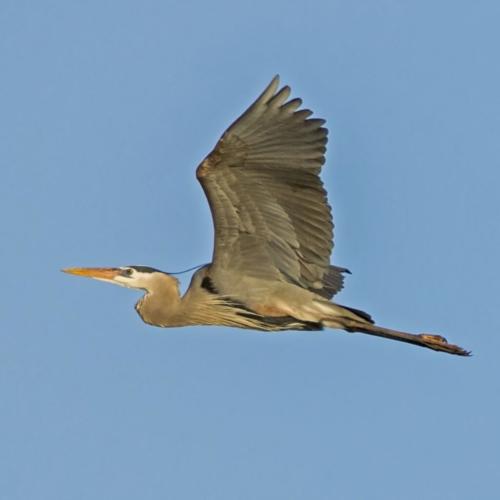 Great Blue Heron in Flight 1