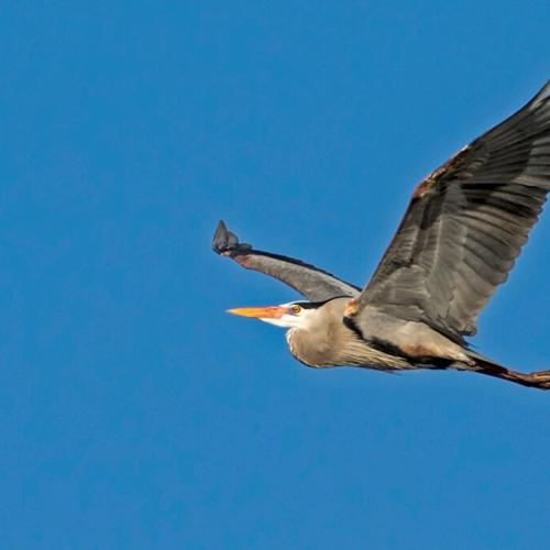 Great Blue Heron in Flight 3