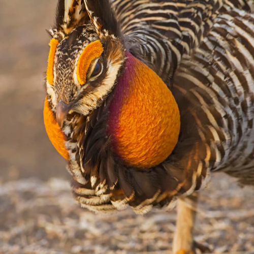 Greater Prarie Chicken Close up