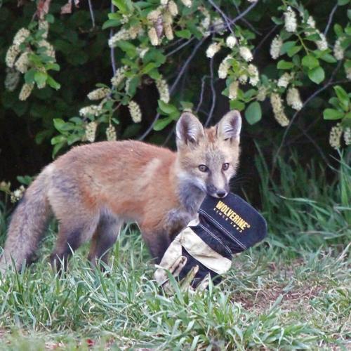 Kit Fox with glove