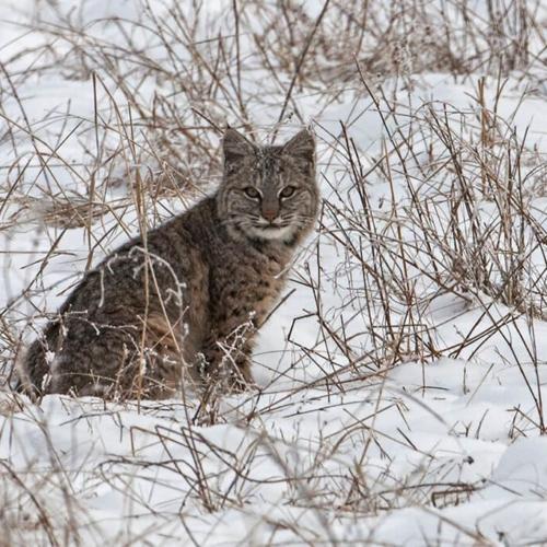 Lynx watching us British Columbia