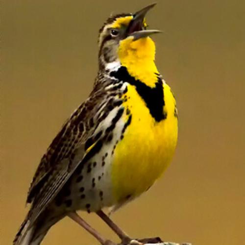 Meadow Lark on Post Singing Pawnee
