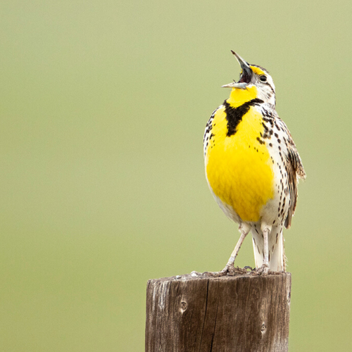 Meadowlark in Full Song