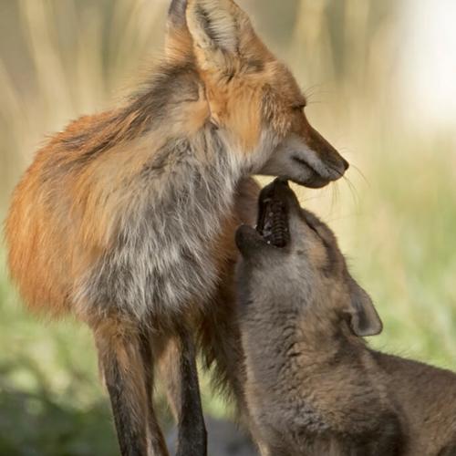 Mom Fox and Kit