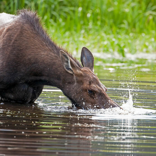 Moose Cow blowing into Pond Rocky Mountain National Park