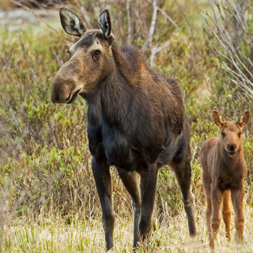 Moose cow and calf RMNP