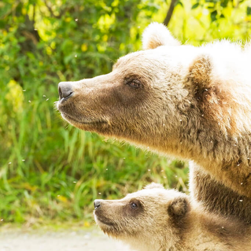 Mother and Cub Watching Out