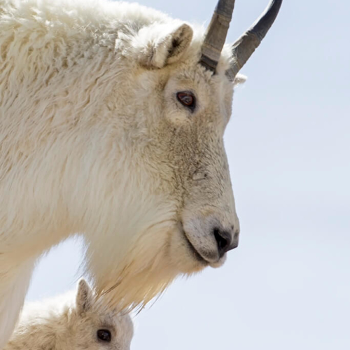 Mtn Goat Momma and Kid