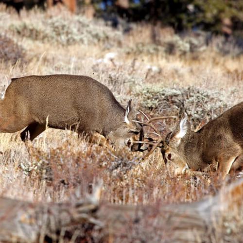 Mule Bucks fighting RMNP 72p