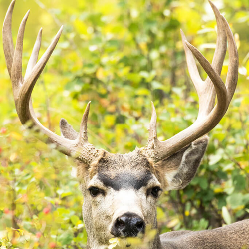Mule Deer Buck Gros Ventre