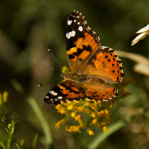 Painted Lady Butterfly Horsetooth Park