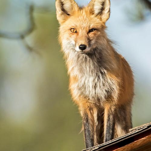 Papa Fox on Roof