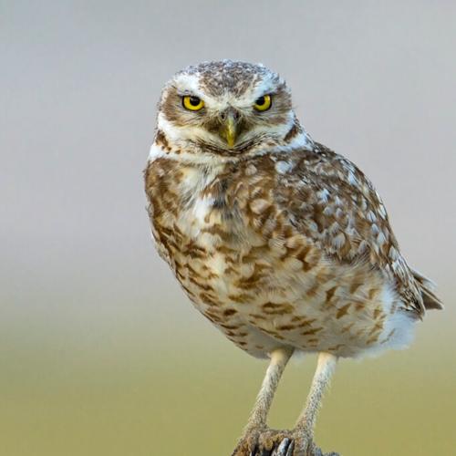 Pawnee Burrowing Owl Portrait