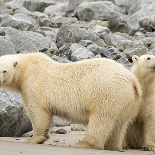 Polar Bear and Yearling on Beach