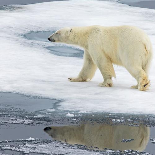 Polar Bear on Ice w Reflection
