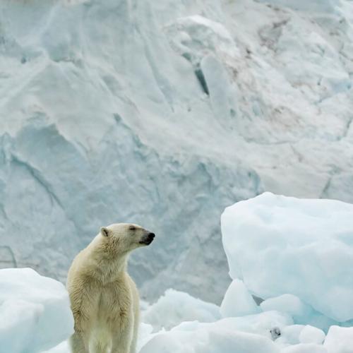 Polar Bear on Iceburg