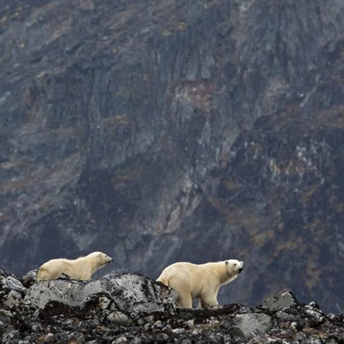 Polar Bears on Ridgeline