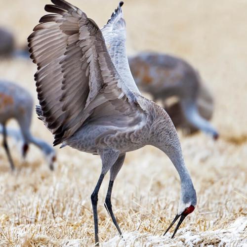 Sandhill Crane Displaying 72p