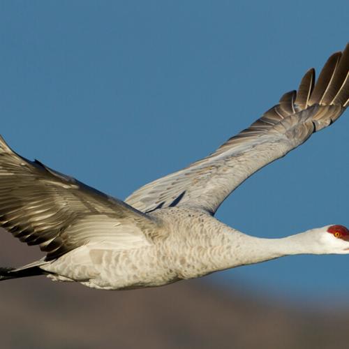 Sandhill Crane in Flight Close Up