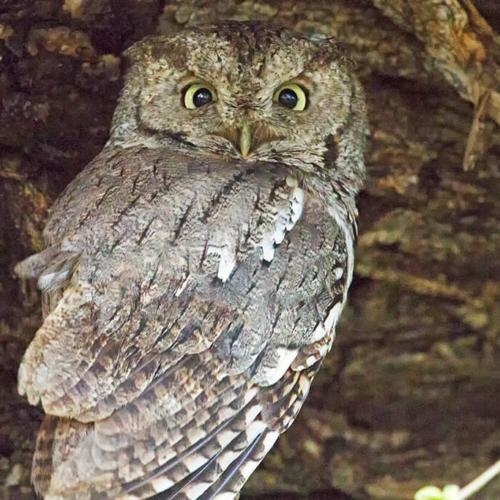Screech Owl Momma 2