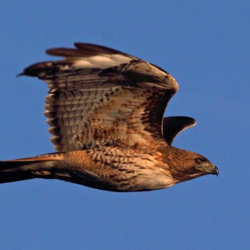 Sharp-shinned hawk Loveland